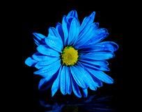 Isolated Blue Flower. On a black background royalty free stock images