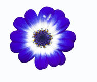 Isolated Blue Flower (Cineraria). The blue Cineraria is used as a herbal cure to cataracts stock image