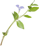 Isolated blue flower periwinkle Stock Photo