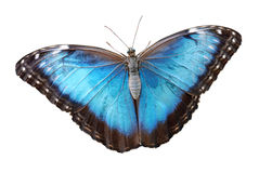 Isolated blue morpho menelaus Butterfly Stock Images