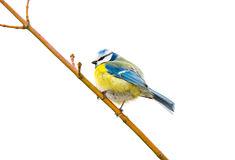 Isolated Blue Tit Bird Stock Images