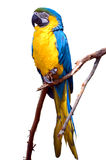 Isolated Blue and Yellow Macaw. Perched on branch stock photo