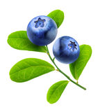 Isolated blueberries branch Stock Photos