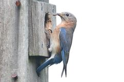 Isolated Bluebird Birdhouse stock images