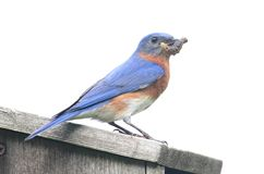 Isolated Bluebird Birdhouse royalty free stock image