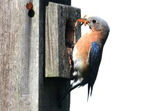 Isolated Bluebird on a Birdhouse royalty free stock image