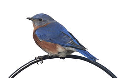 Isolated Bluebird On A Perch Royalty Free Stock Image