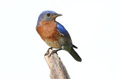 Isolated Bluebird On A Perch With A White Background royalty free stock photos
