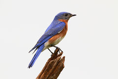 Isolated Bluebird On A Stump Stock Images