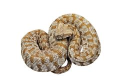 Isolated blunt nosed viper Stock Photography
