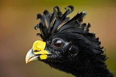Isolated on blurred background, portrait of pheasant-like bird f. Rom rainforest, Great curassow, Crax rubra. Male with erected crest. Boca Tapada rainforest Stock Photos