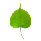 Isolated bo leaf Stock Photography