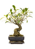 Isolated Bonsai Fig Royalty Free Stock Photos