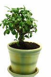 Isolated Bonsai in the pot Royalty Free Stock Photography
