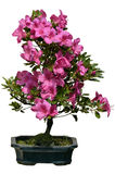Isolated bonsai rhododendron blooming Stock Images