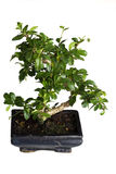 Isolated bonsai tree Royalty Free Stock Photos