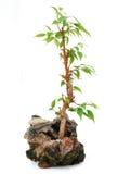 Isolated bonsai tree. A planting bonsai tree on white background Stock Photography