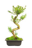 Isolated Bonsai Tree Royalty Free Stock Photo