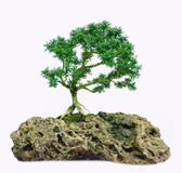 Isolated Bonsai tree - Murraya paniculata Dwarf Royalty Free Stock Images