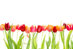 Isolated border of fresh spring tulips Royalty Free Stock Image