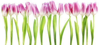 Isolated border from pink tulips Royalty Free Stock Photo