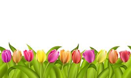 Isolated border on white with copy space of fresh red and orange spring tulips with green leaves. Isolated seamless border on white with copy space of fresh red Royalty Free Stock Images