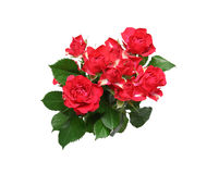 Isolated bouquet of roses with leaves Stock Image