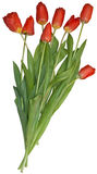 Isolated bouquet of tulips Royalty Free Stock Images