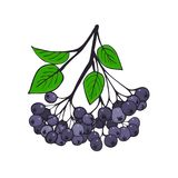 Isolated branch of black ashberry with foliage. Berries of Aronia. Vector Stock Image