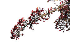 Isolated branch of red berries Stock Photo