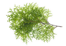 Isolated branch a thuja Royalty Free Stock Photo