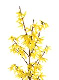 Isolated branches of blooming forsythia Royalty Free Stock Photos