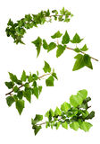 Isolated Branches Of Ivy Royalty Free Stock Photography
