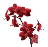 Isolated bright red orchid flower branch Royalty Free Stock Photos