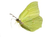 Isolated brimstone butterfly stock image