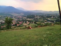 Cow on a field above Sarajevo royalty free stock photo