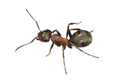 Isolated brown ant Stock Image