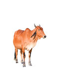 Isolated brown cow on the white background. Animal Stock Photo