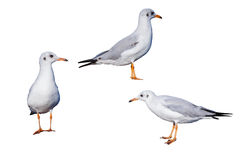 Isolated brown-headed seagulls on white Royalty Free Stock Photos