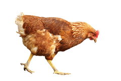 Isolated brown hen Royalty Free Stock Images