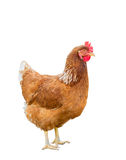 Isolated brown hen Royalty Free Stock Photography