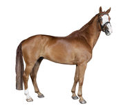 Isolated brown horse Stock Image