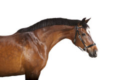 Isolated brown horse head Royalty Free Stock Photos