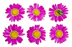 Isolated buds and flowers of the pink daisies Stock Image