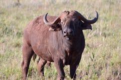Isolated Buffalo in Tsavo Stock Images