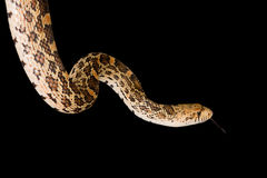 Isolated bull snake Royalty Free Stock Photo