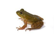 Isolated Bullfrog. Photograph of a young bullfrog isolated on white stock images