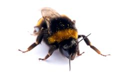 Isolated bumblebee Royalty Free Stock Image