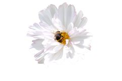 Isolated bumblebee on white flower. Gathering nectar and pollen on a withe background Royalty Free Stock Image