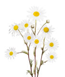 Isolated bunch of fine chamomile flowers Stock Photos